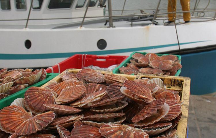 Les stocks de coquilles Saint-Jacques battent un nouveau record