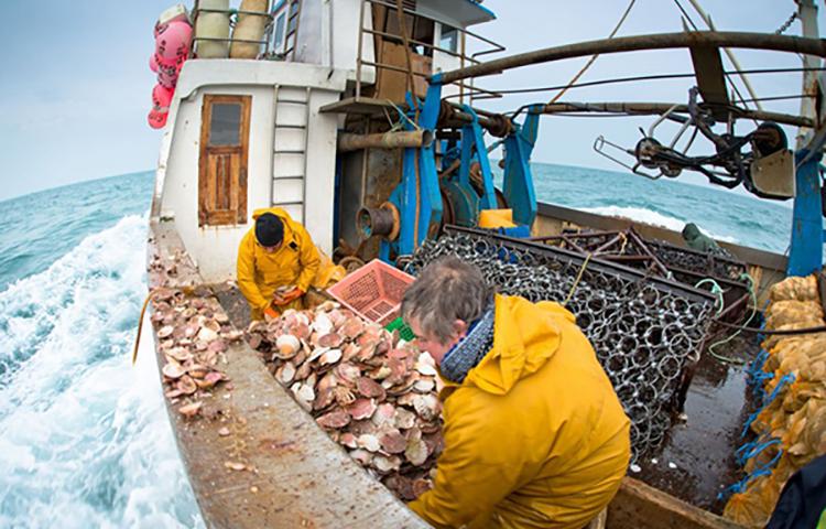 Coquille Saint-Jacques : accord trouvé avec les navires britanniques de plus de 15 mètres