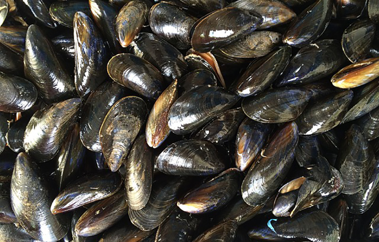 Une famille de biotoxines marines émergentes, détectées dans des moules de lagunes méditerranéennes