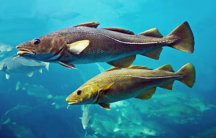La certification des pêcheries de cabillaud en mer du Nord va être suspendue